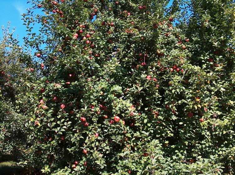 Apples 003-PV