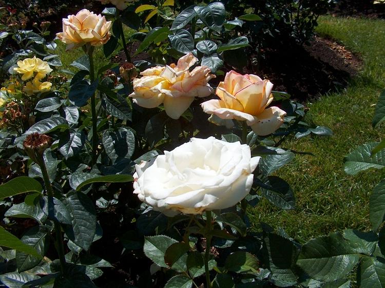 Roses 007-LR-PV