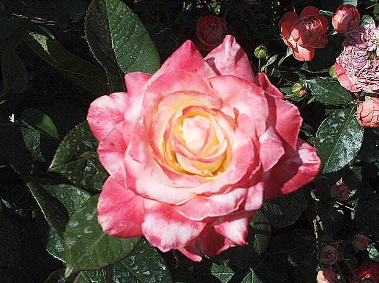 Roses 010-PV
