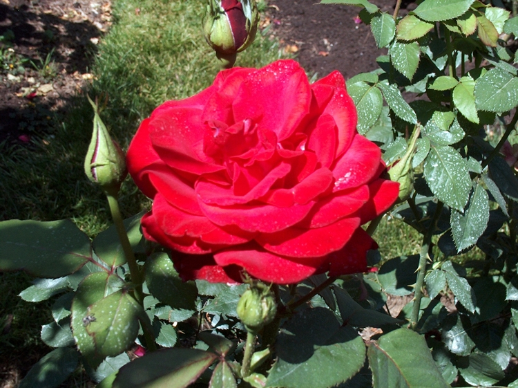 Roses 012-PV